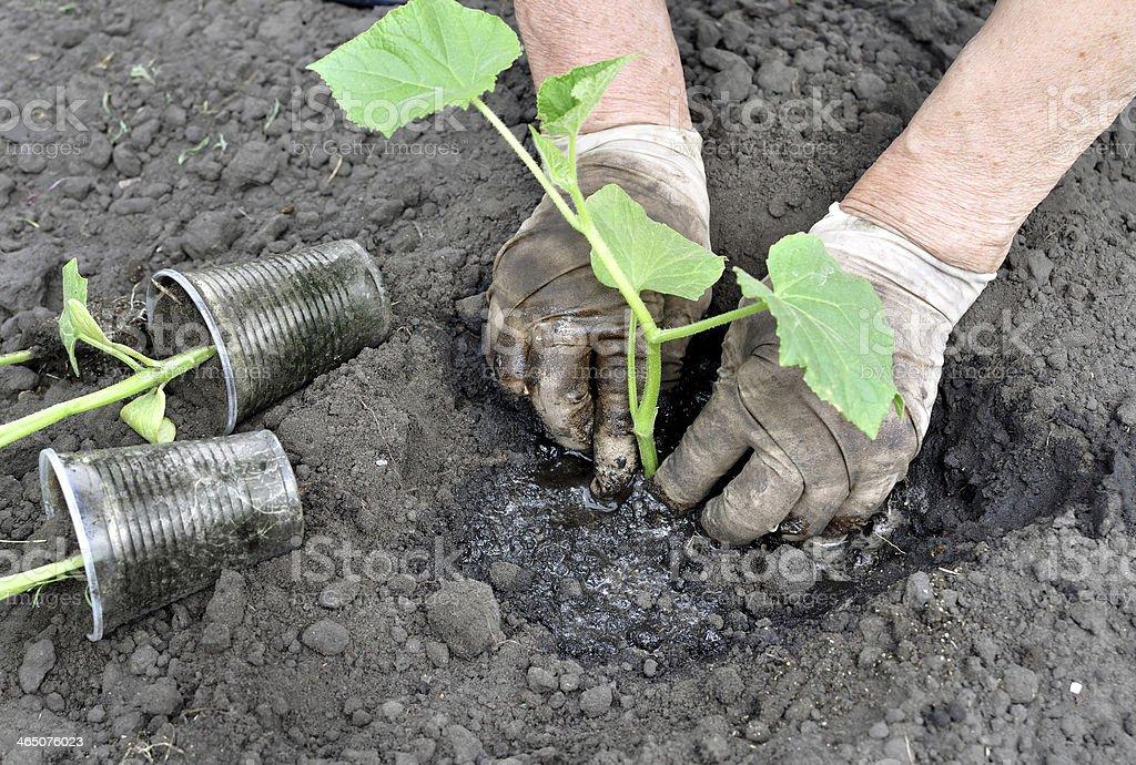 senior woman planting a cucumber seedling royalty-free stock photo