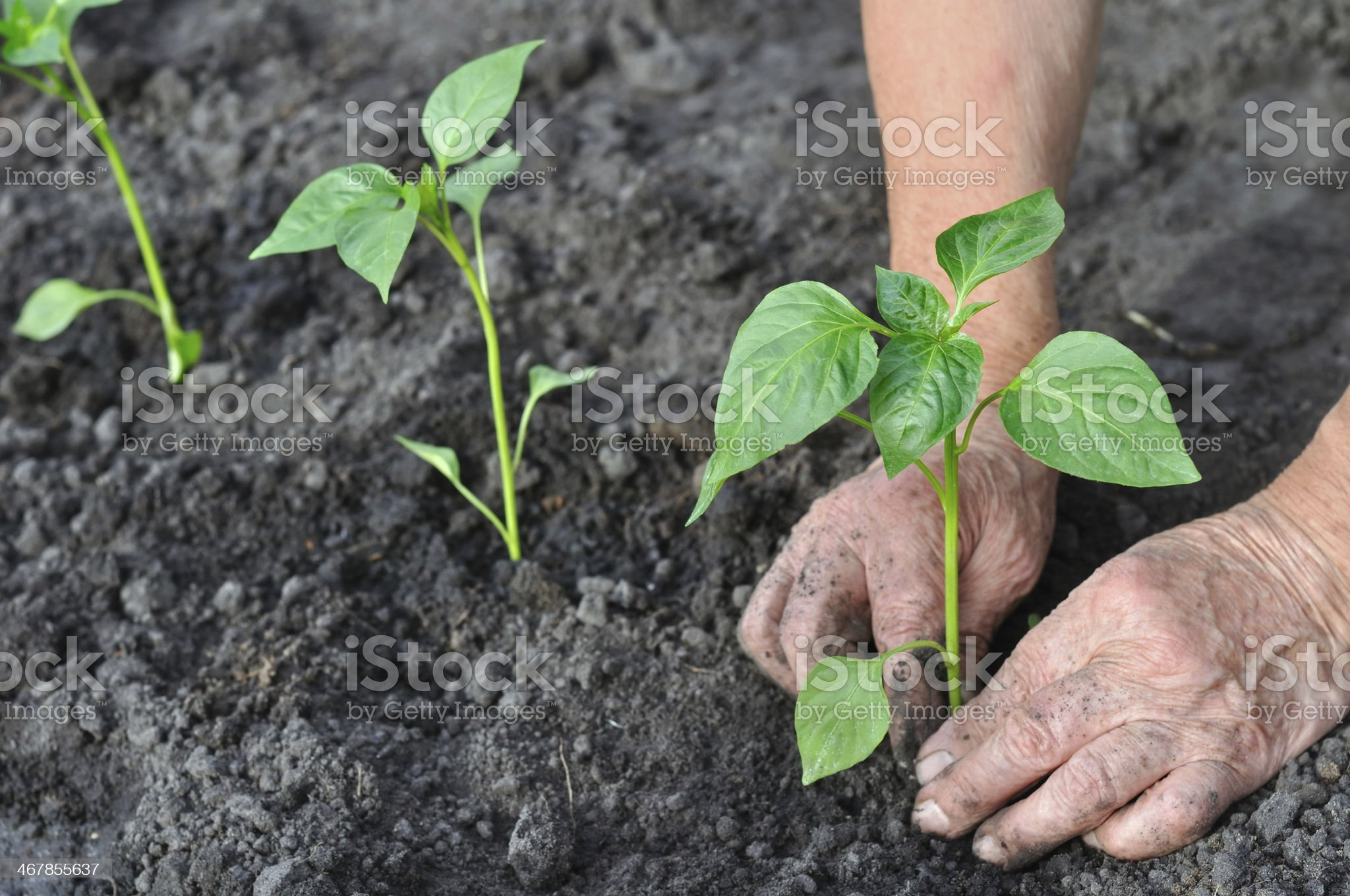 senior woman planting a pepper seedling royalty-free stock photo