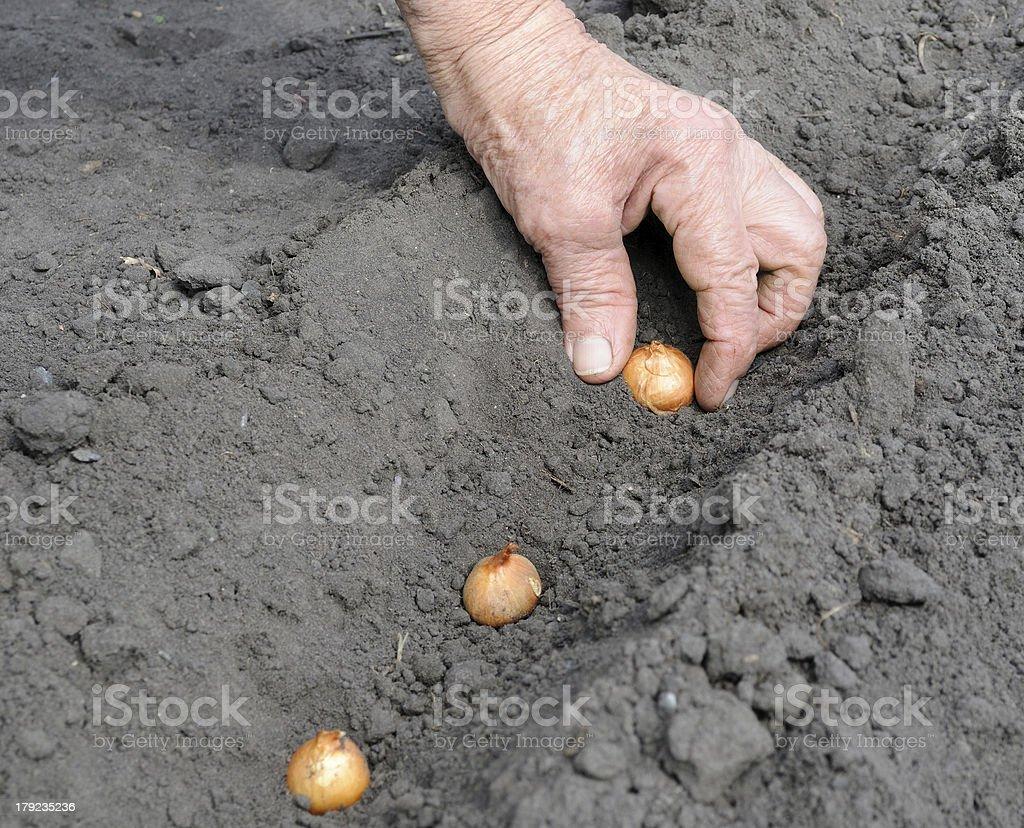 Senior woman planting onion royalty-free stock photo