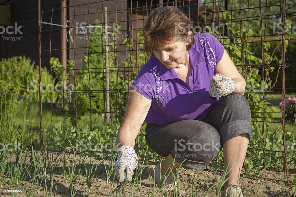 Senior woman weeding in the garden royalty-free stock photo
