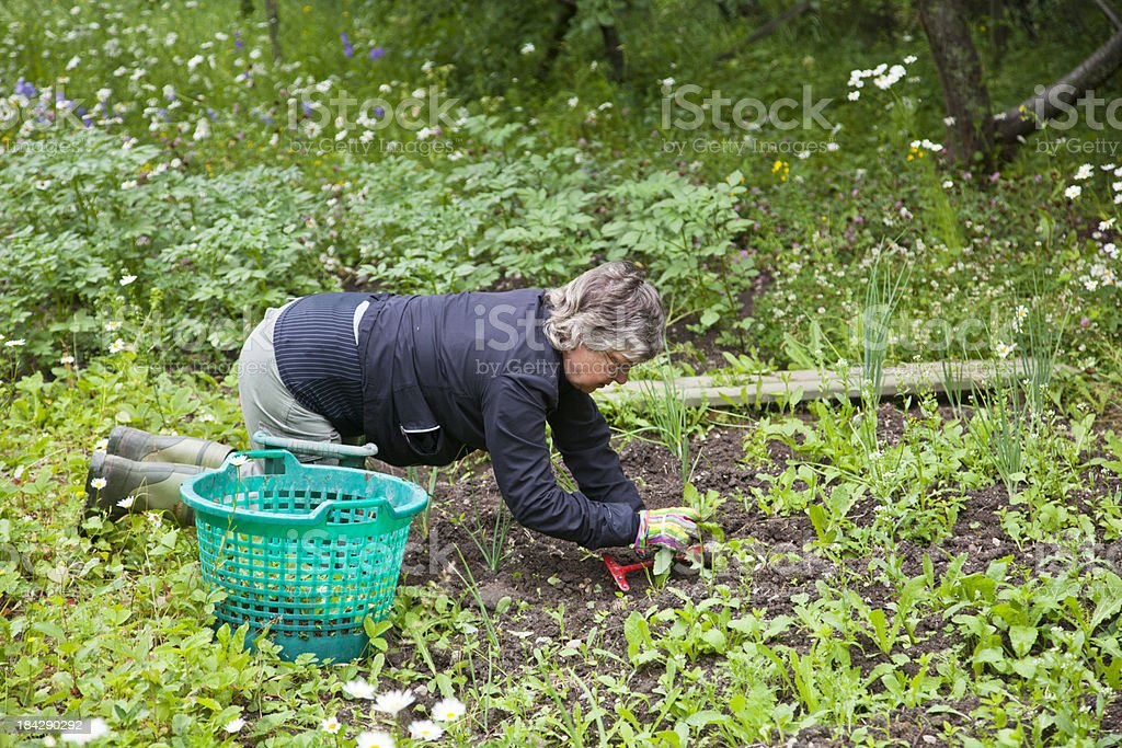Senior woman weeding in the garden. stock photo