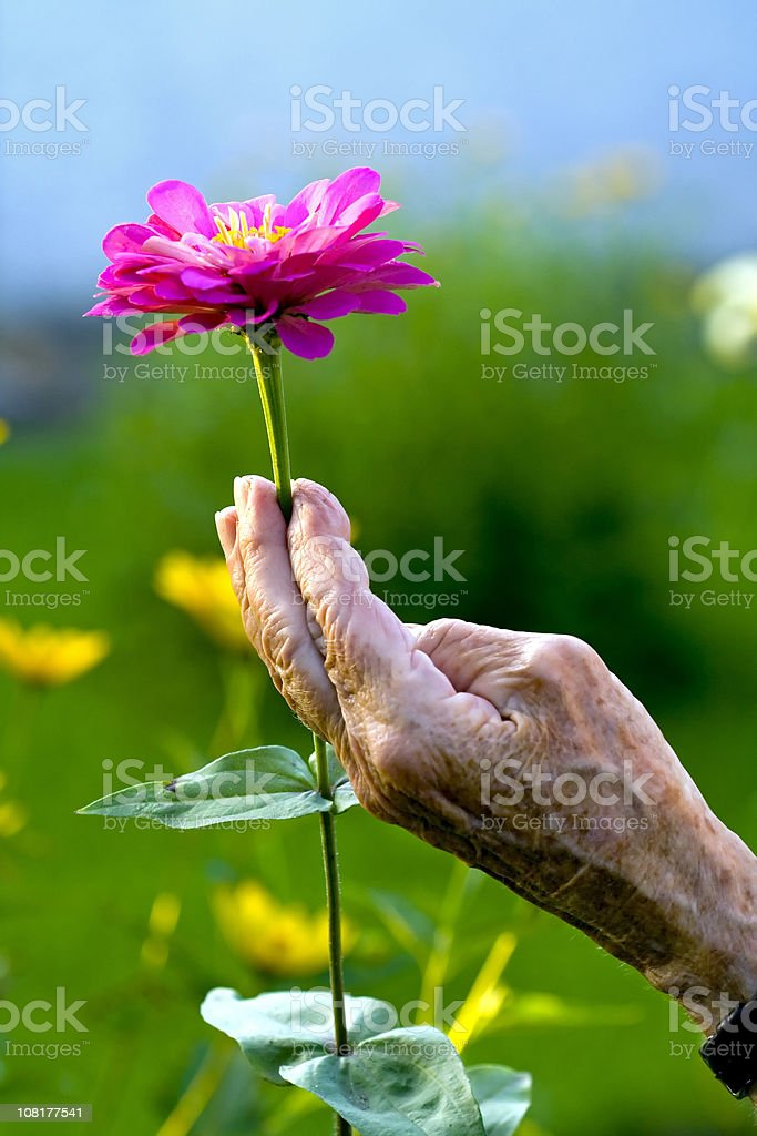 Senior Woman's Hand Holding Pink Flower royalty-free stock photo