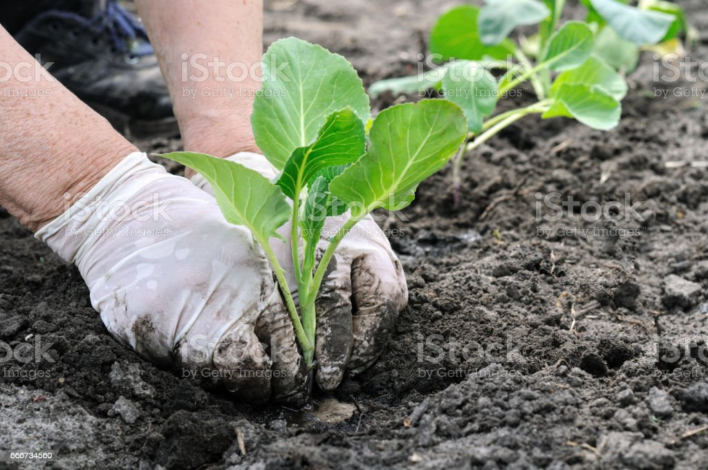 senior woman's hands plants cabbage seedling stock photo
