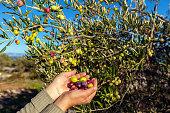 Senior Women Harvesting Olives in Brac, Croatia, Europe