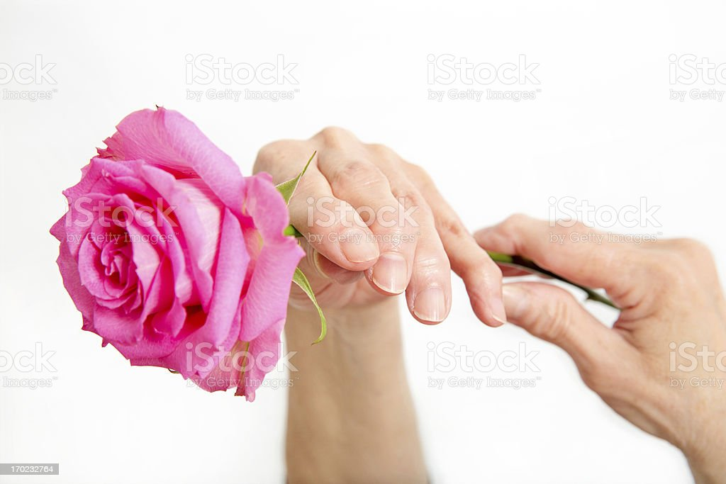 Seniors arthritic hands holding a pink rose on white background. royalty-free stock photo