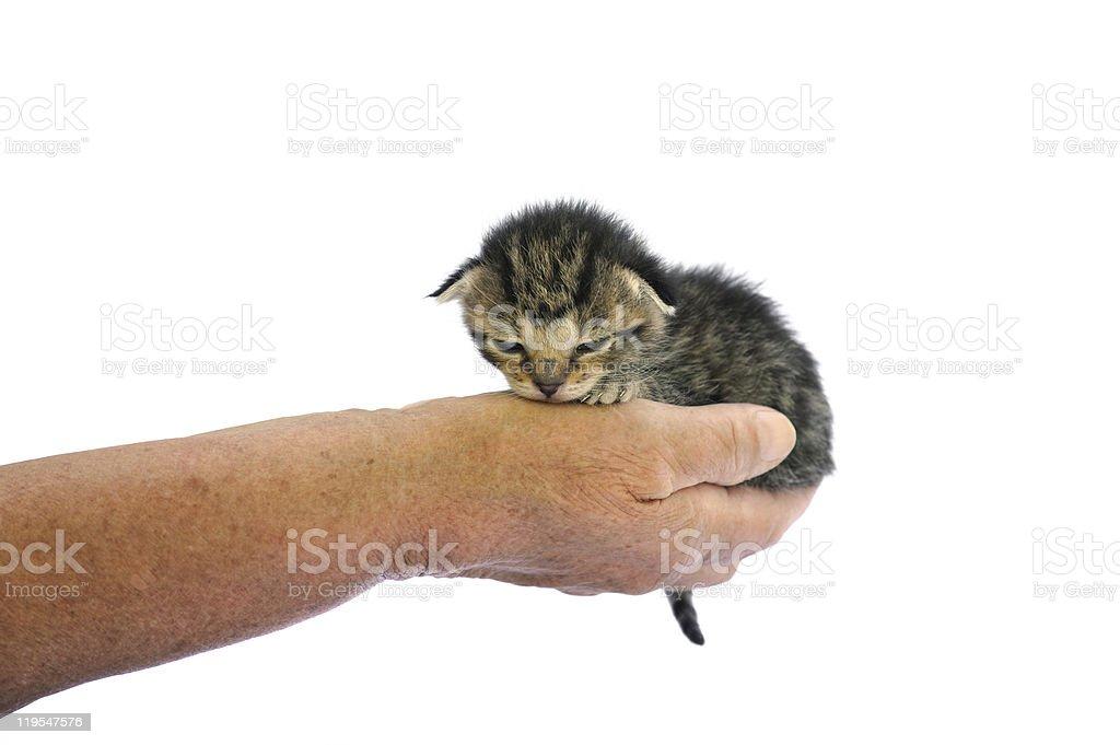 Senior's hands holding little kitten royalty-free stock photo