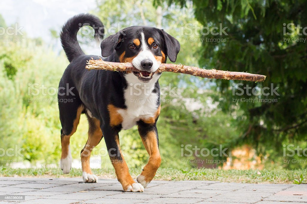Sennenhund playing with long branch stock photo