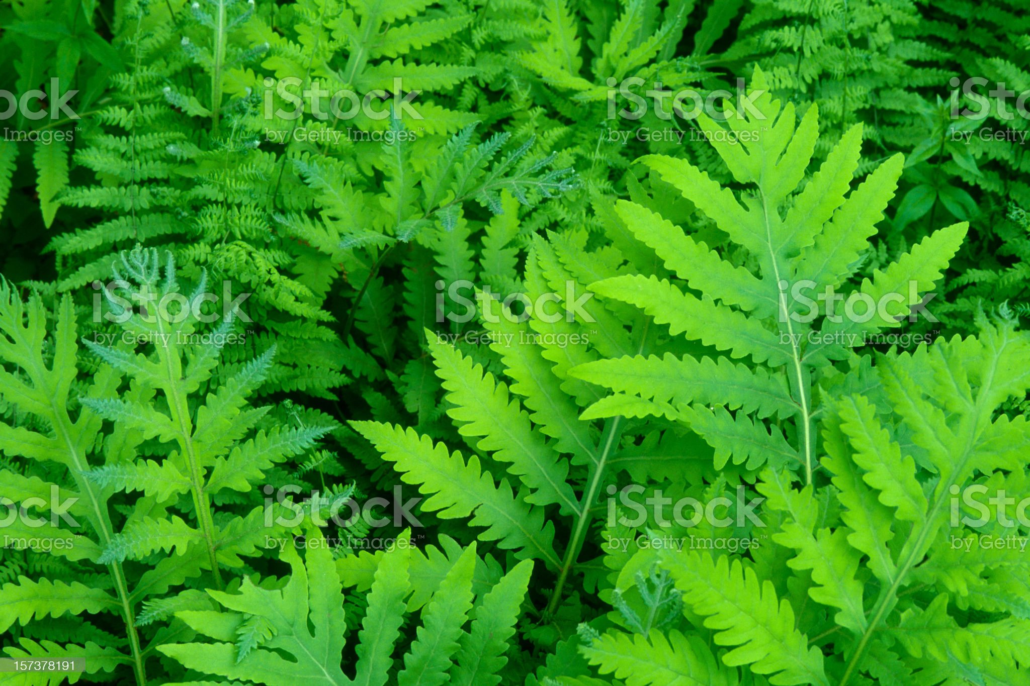 Sensitive Fern Fronds in Spring royalty-free stock photo
