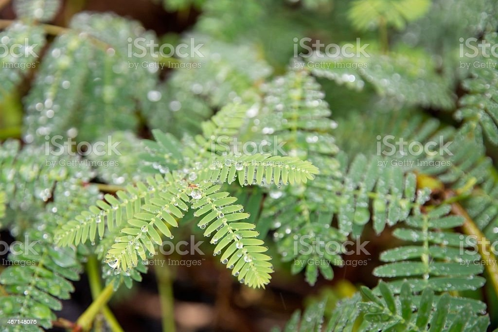 Sensitive green plant Mimosa Pudica stock photo
