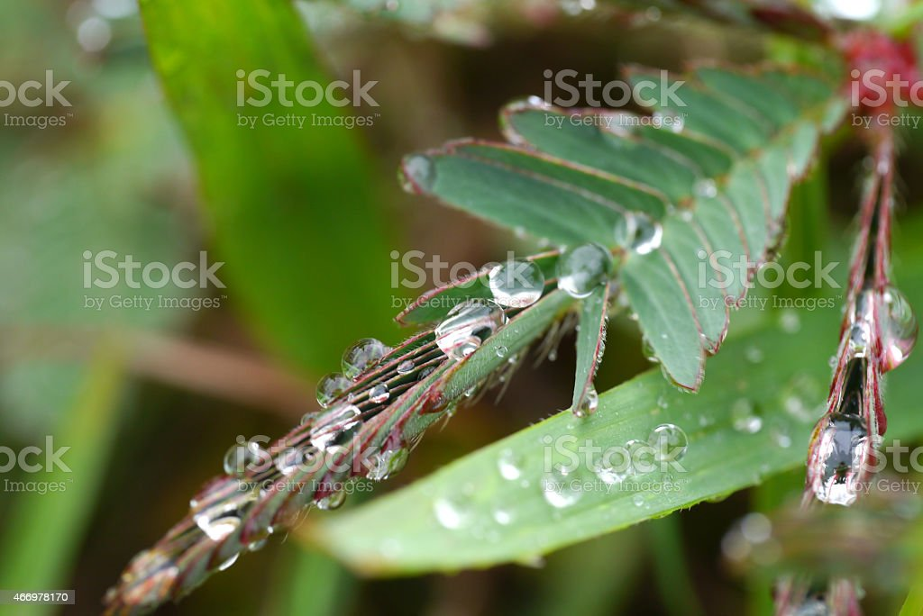 Sensitive plant and water drop ( mimosa pudica ) stock photo