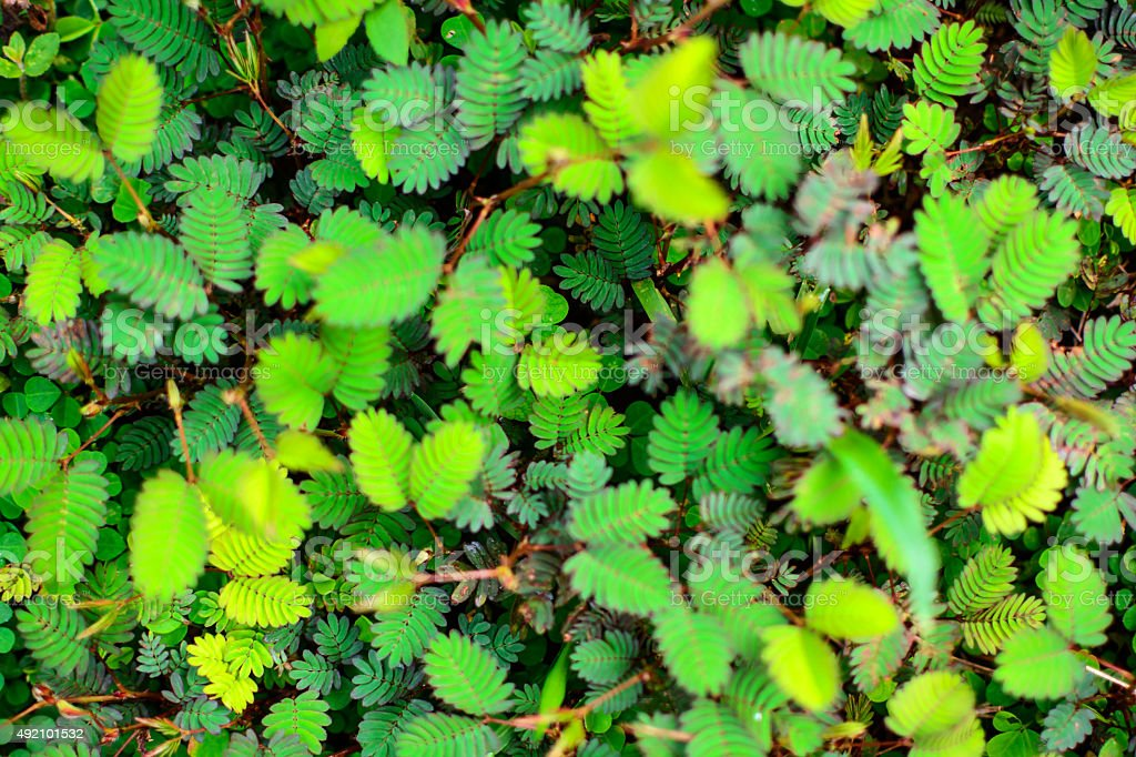 sensitive plant background stock photo