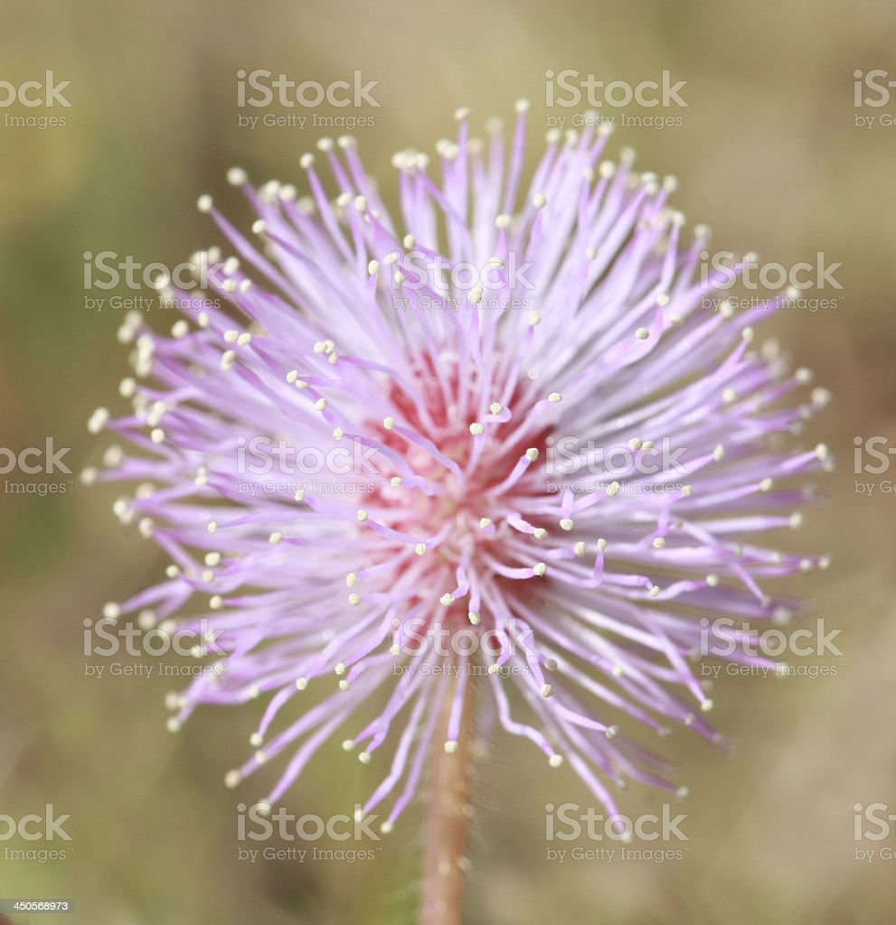 Sensitive plant flower stock photo