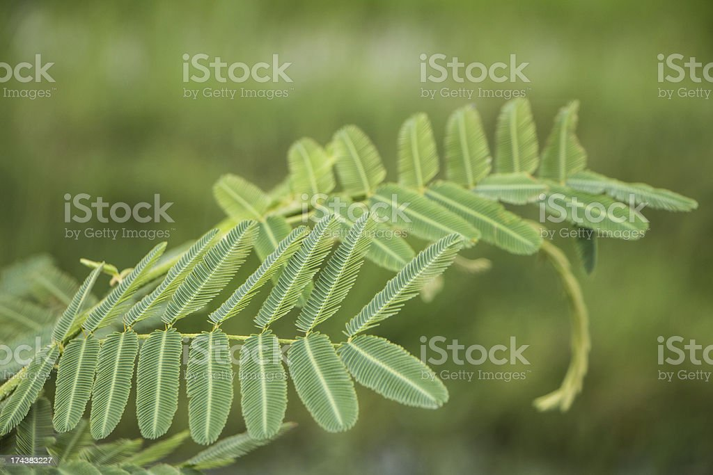 sensitive plant stock photo