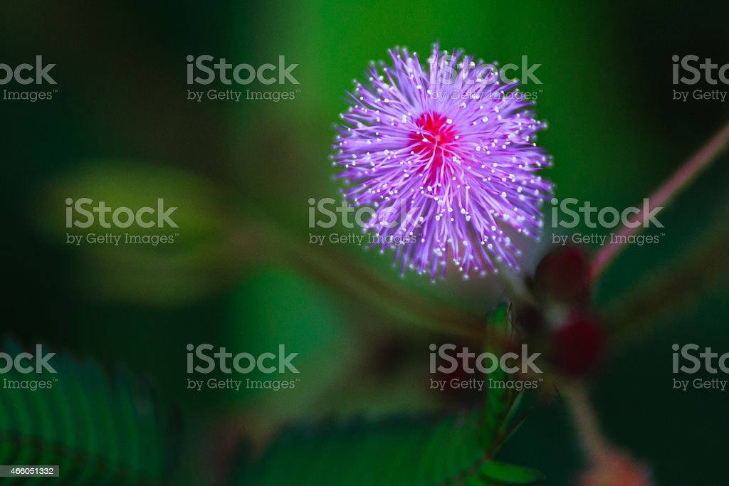 Sensitive plant (Mimosa pudica) stock photo