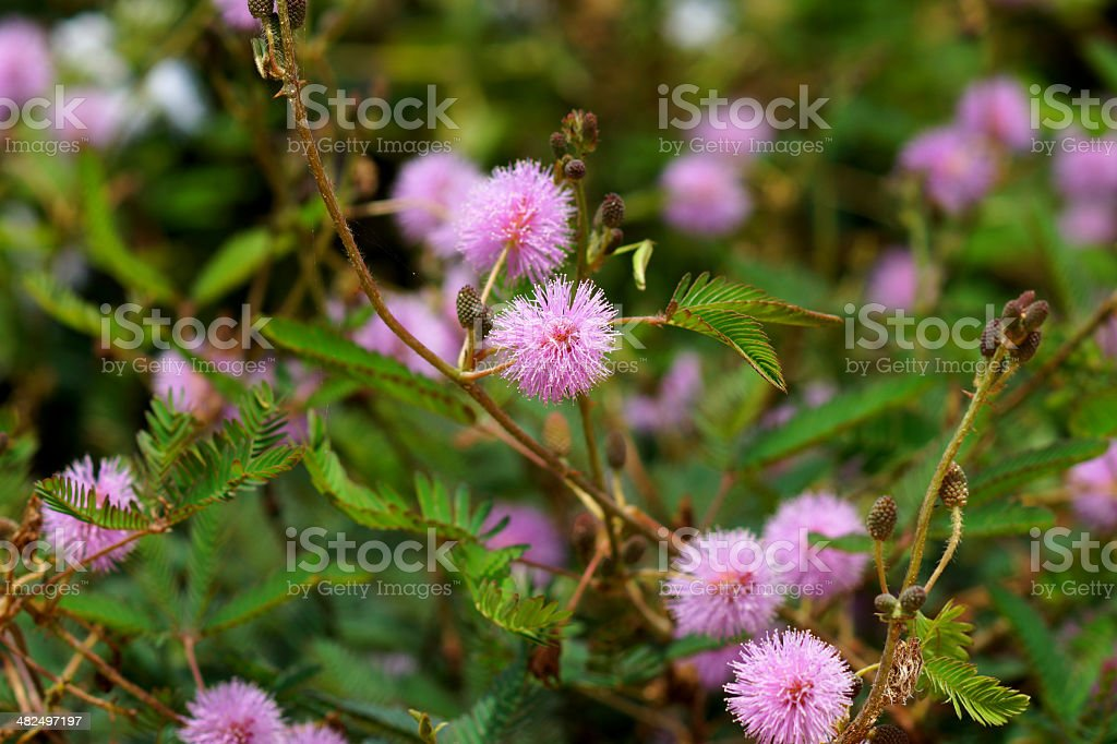 sensitive plant ( mimosa pudica ) stock photo