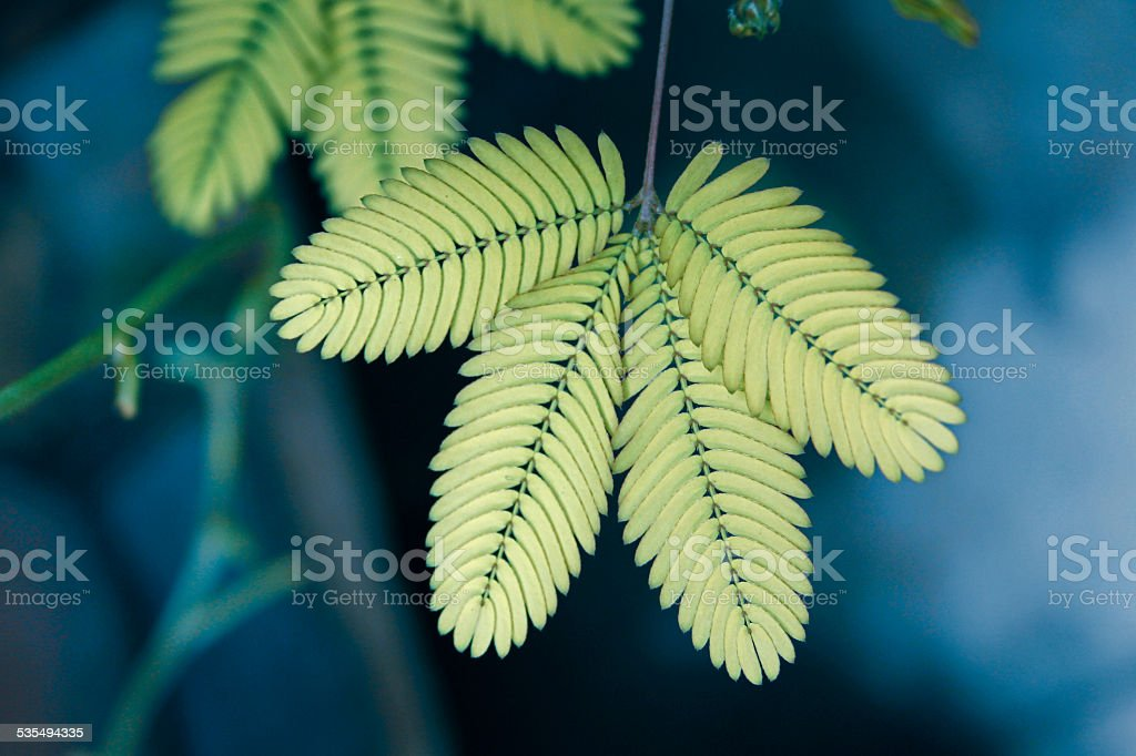Sensitive plant, Touch me nott plant, Mimosa pudica stock photo
