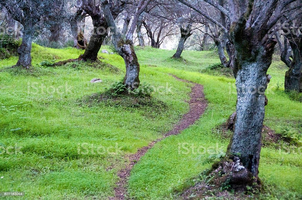 sentier sous les oliviers stock photo