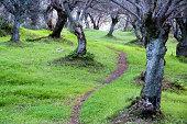 sentier sous les oliviers