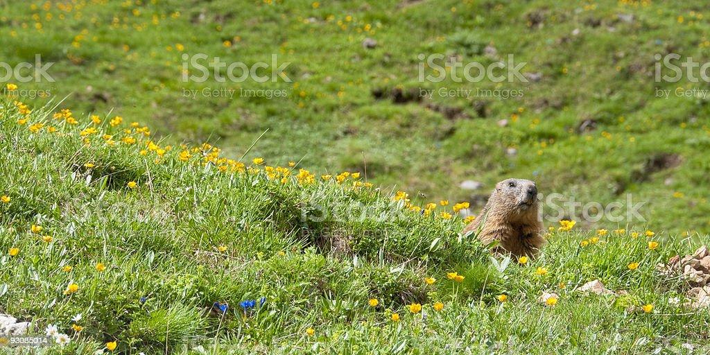 Sentinel marmot stock photo