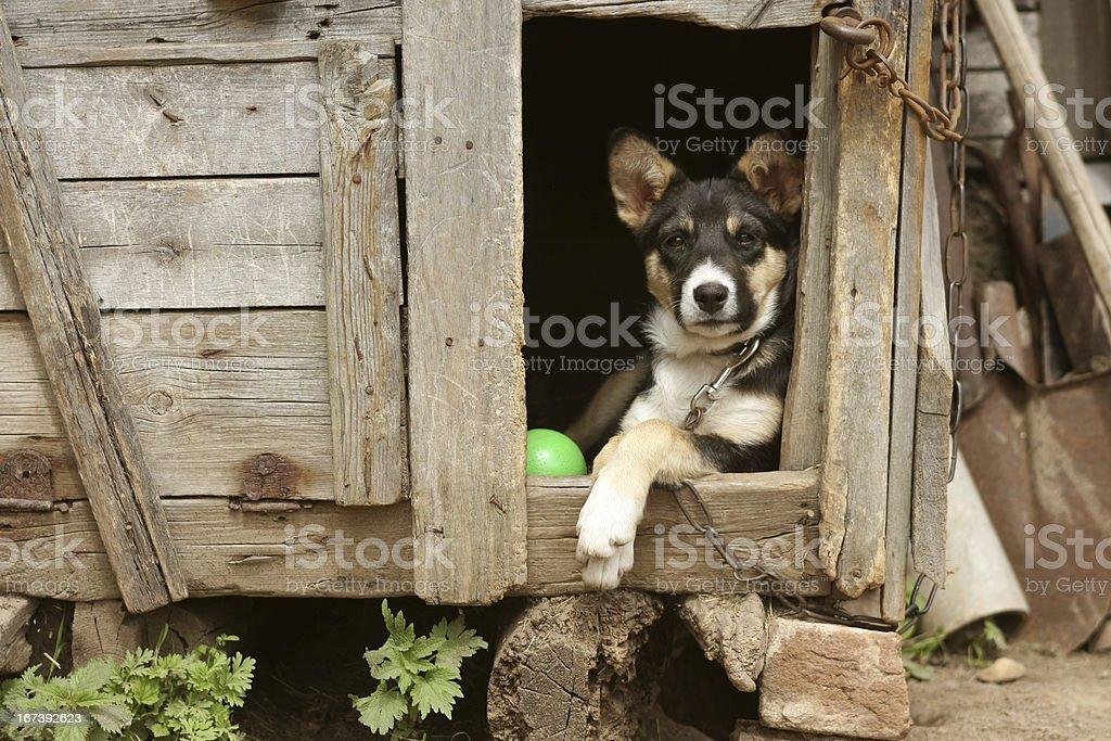 Sentry dog royalty-free stock photo