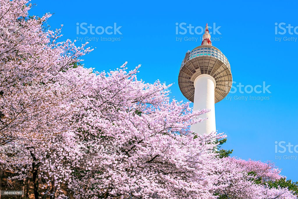 Seoul tower and pink cherry Blossom, Sakura season in spring, stock photo