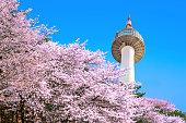 Seoul tower and pink cherry Blossom, Sakura season in spring,