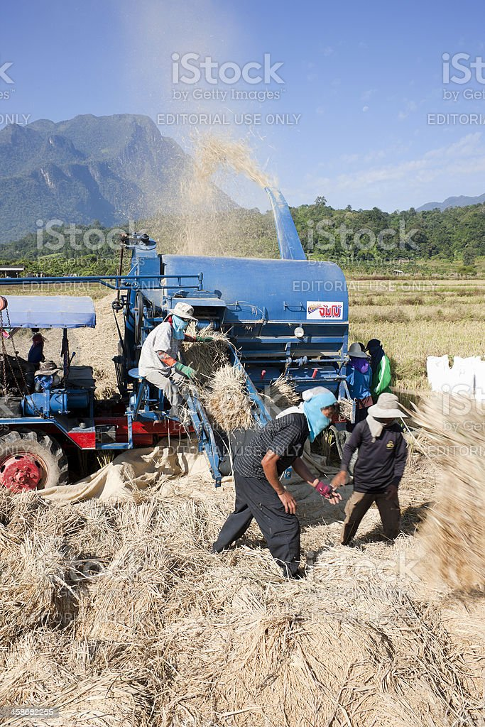 Separating rice grains from stalks. royalty-free stock photo