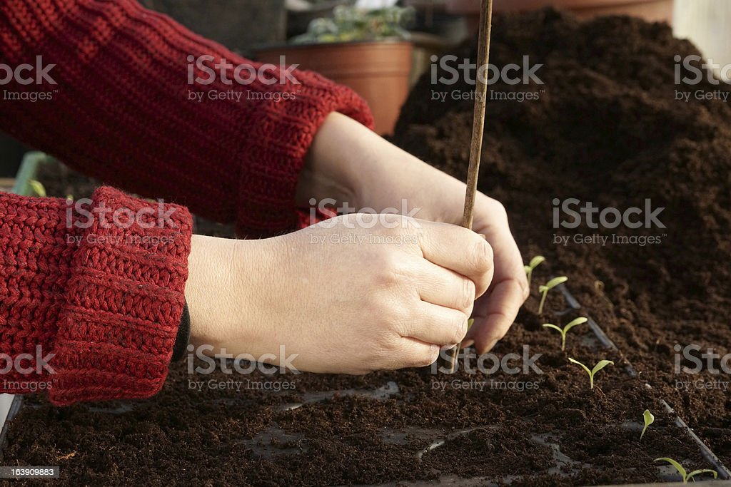 Separating tomato seedlings and giving them individual spaces royalty-free stock photo