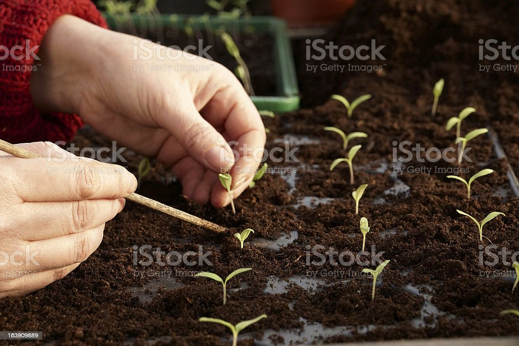 Separating tomato seedlings in a greenhouse royalty-free stock photo