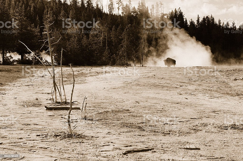 Sepia Bison in Early Morning Steam Yellowstone Hot Spring stock photo