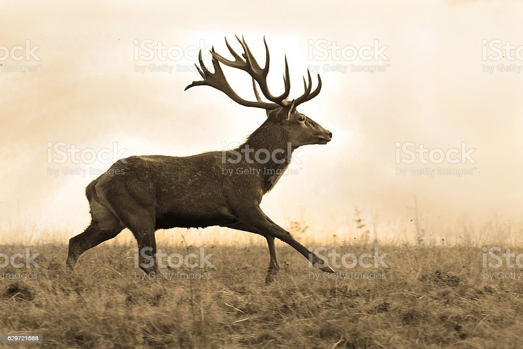sepia image of red deer stag stock photo