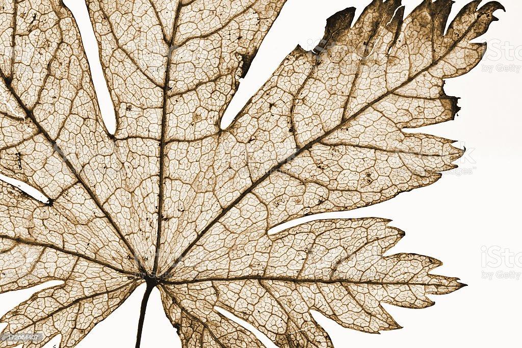 Sepia Leaf Detail stock photo