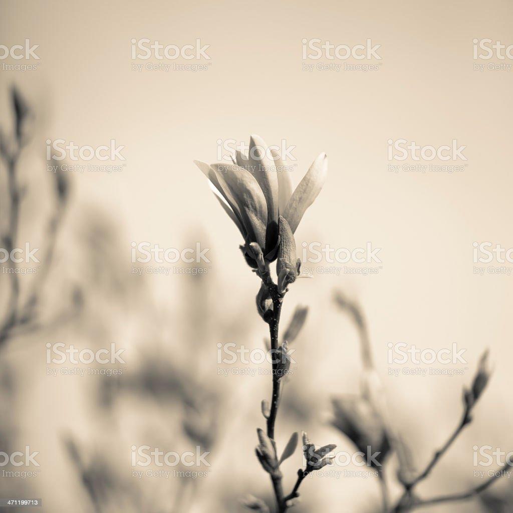sepia magnolia royalty-free stock photo