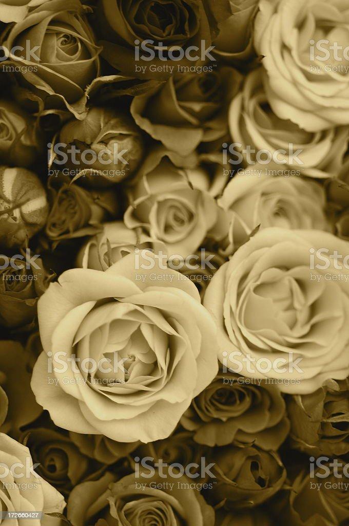 Sepia Rose Background XL royalty-free stock photo