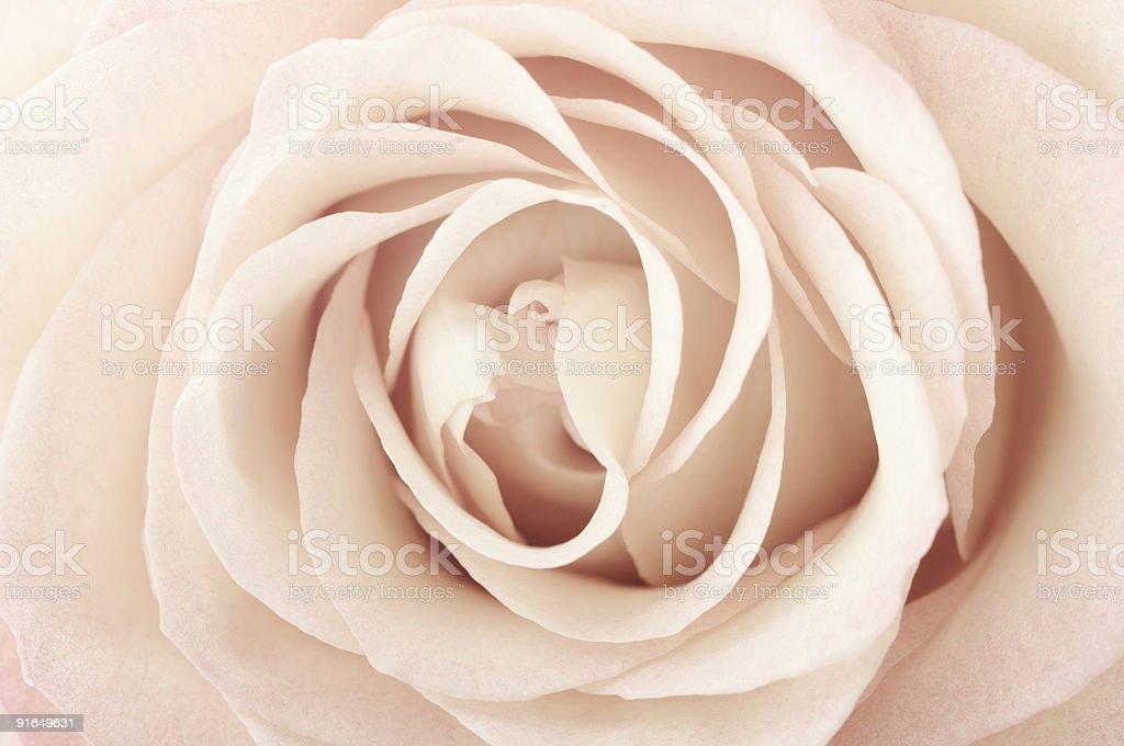 sepia rose flower royalty-free stock photo