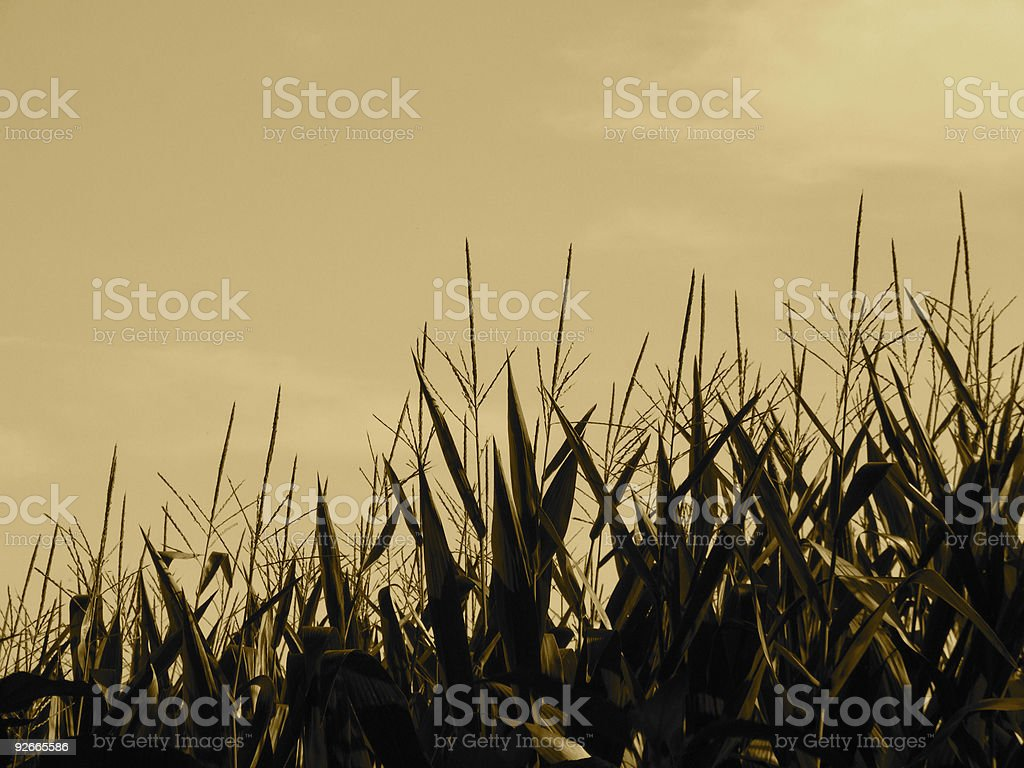 Sepia Stalks royalty-free stock photo