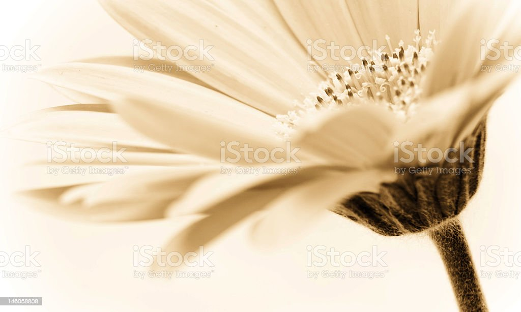 sepia toned floral image royalty-free stock photo