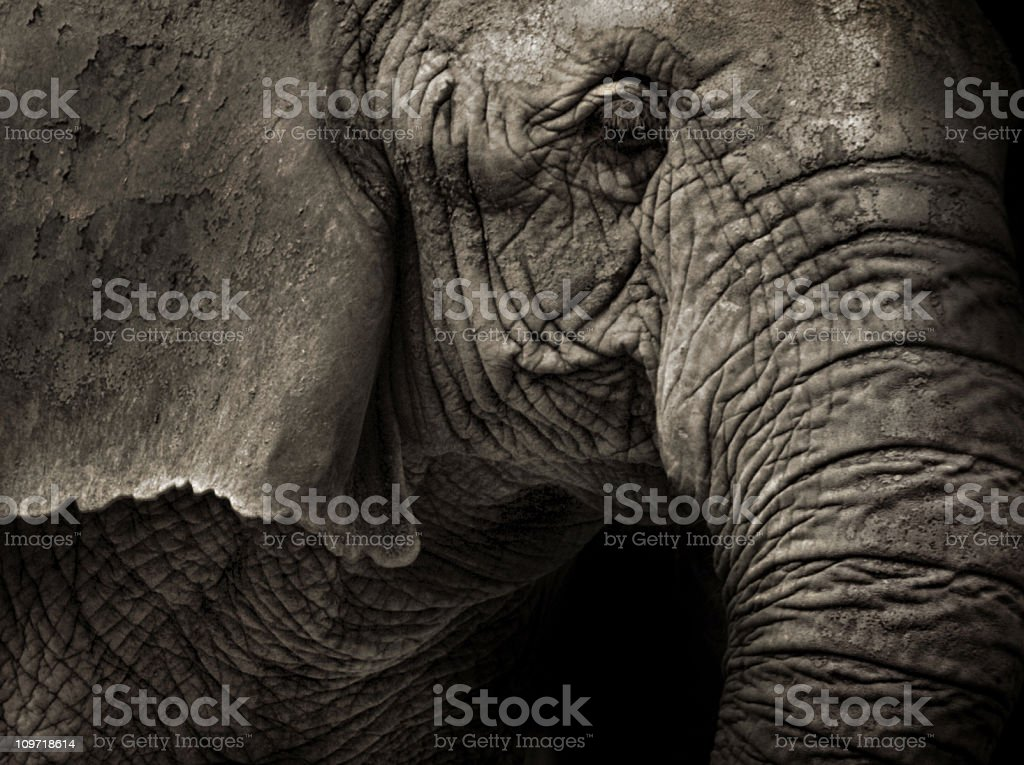 Sepia Toned Image of Elephant Close-Up royalty-free stock photo
