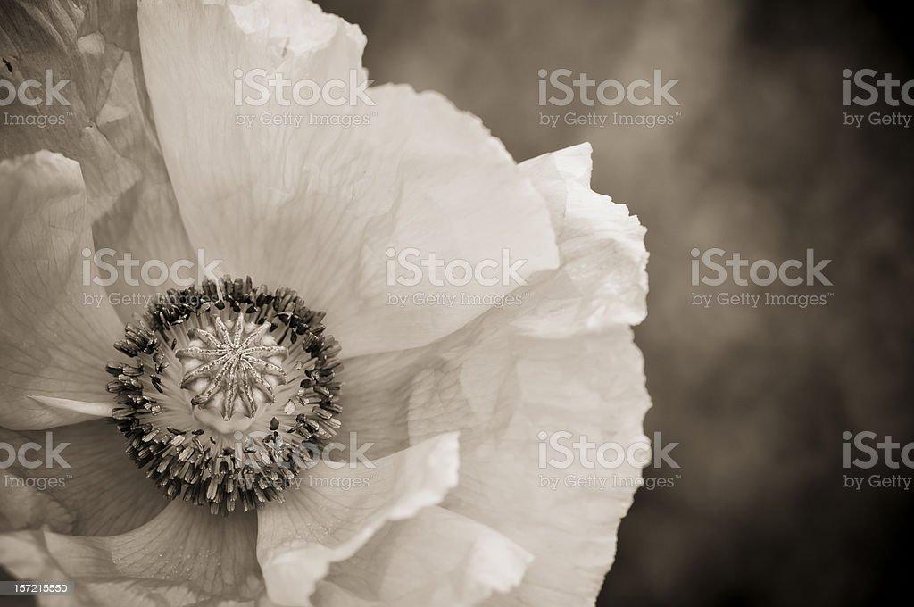 Sepia toned poppy flower royalty-free stock photo