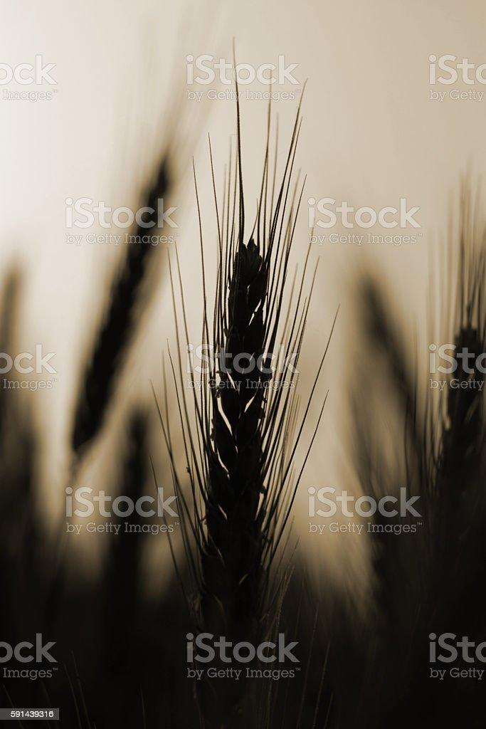 Sepia Wheat stock photo