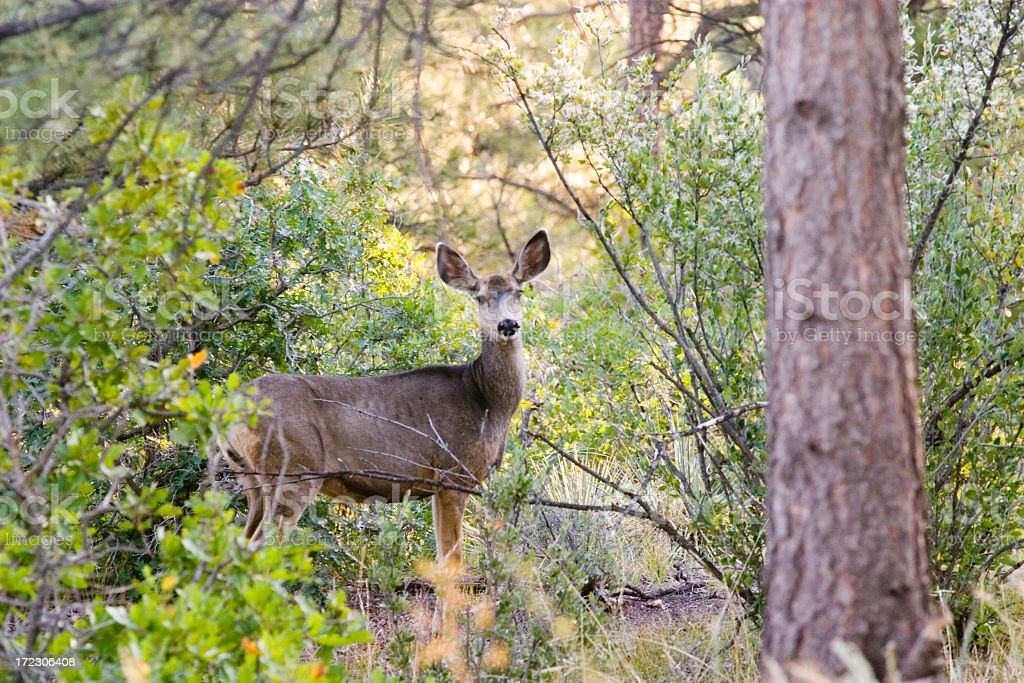 September Doe royalty-free stock photo
