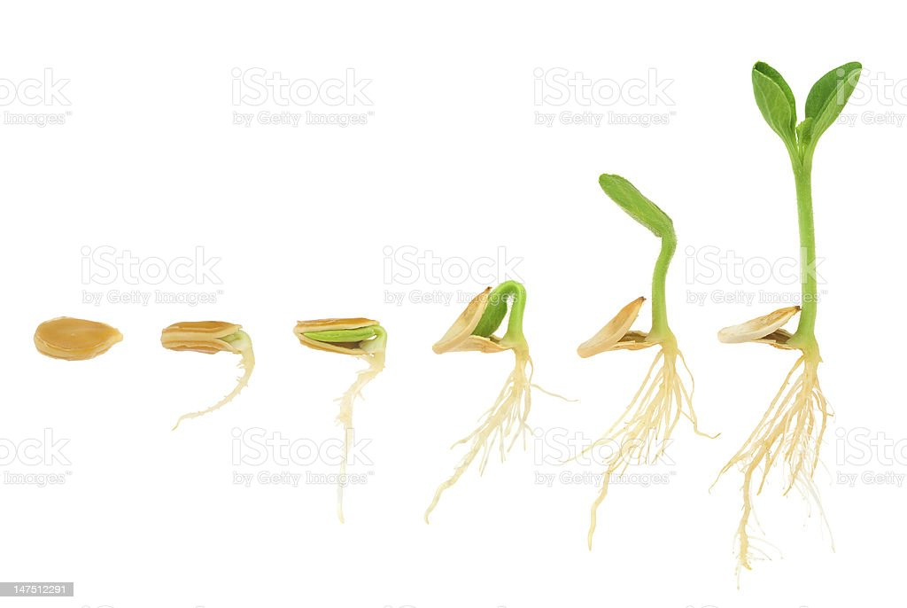 Sequence of pumpkin plant growing isolated, evolution concept stock photo