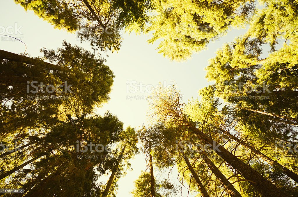 Sequia National Park tree in Autumn stock photo