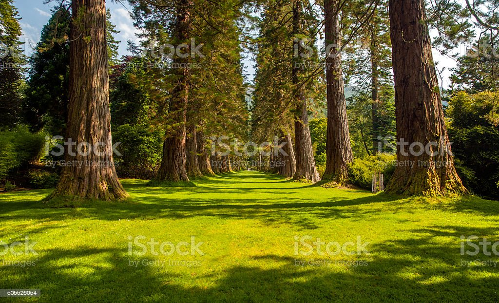 Sequoia Avenue royalty-free stock photo