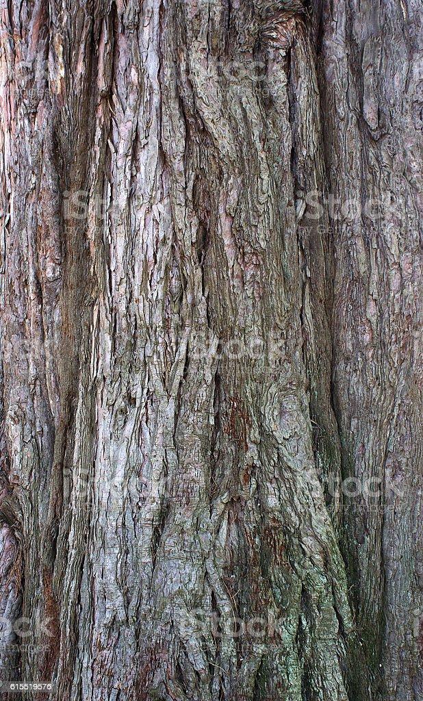 Sequoia bark stock photo