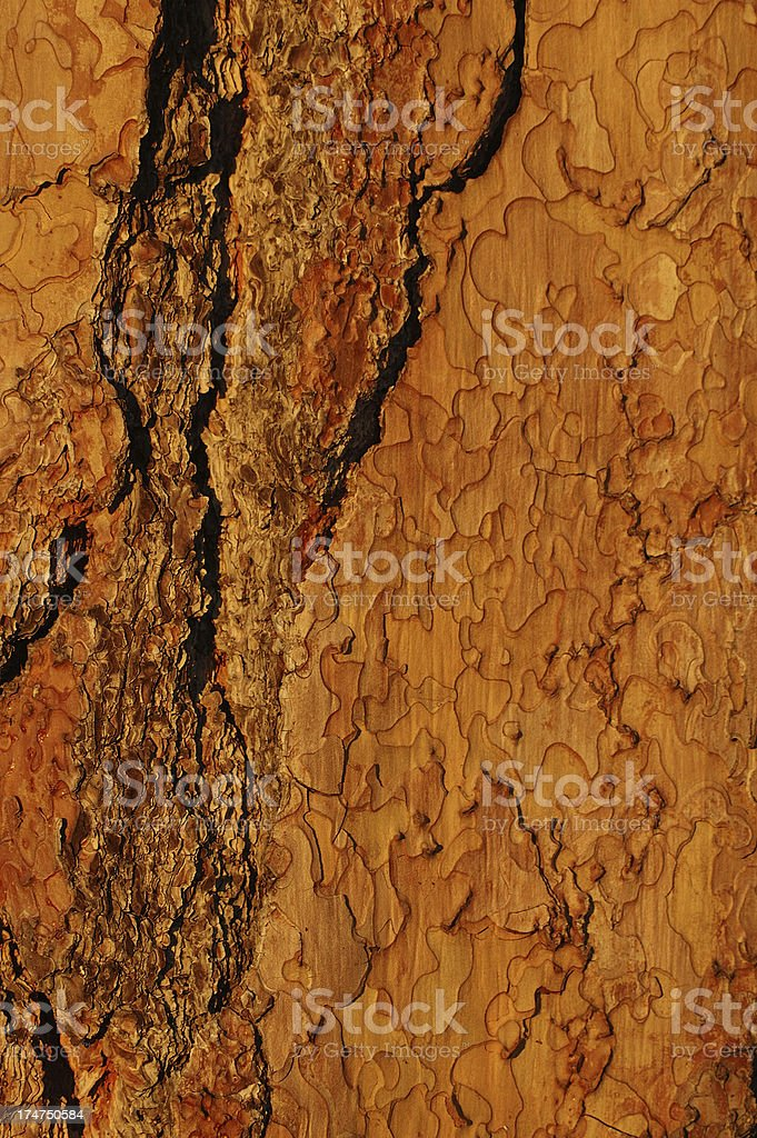 Sequoia cortex stock photo