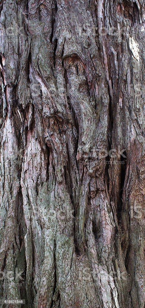 Sequoia dendron bark stock photo