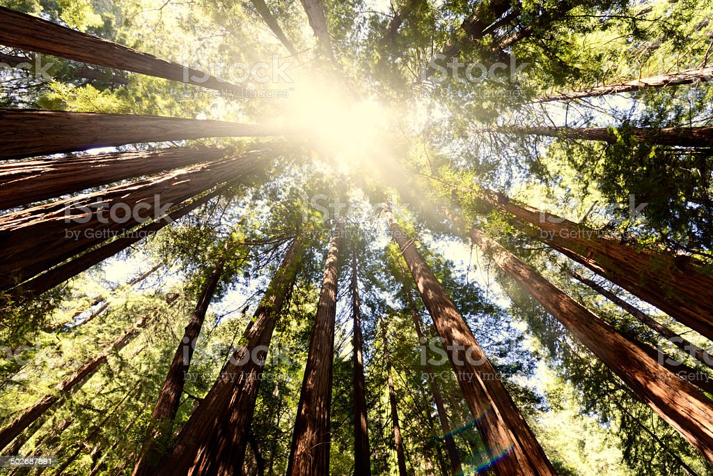 Sequoia Forest stock photo