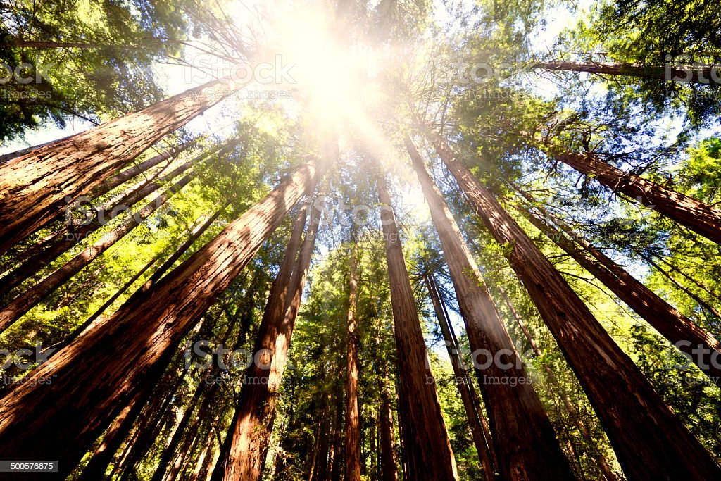 Sequoia Forest, Redwood National Park stock photo
