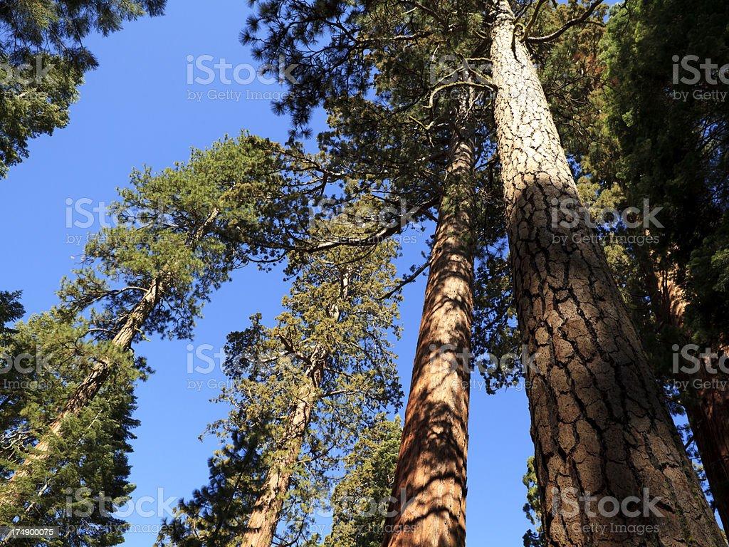 Sequoia National Park trees royalty-free stock photo